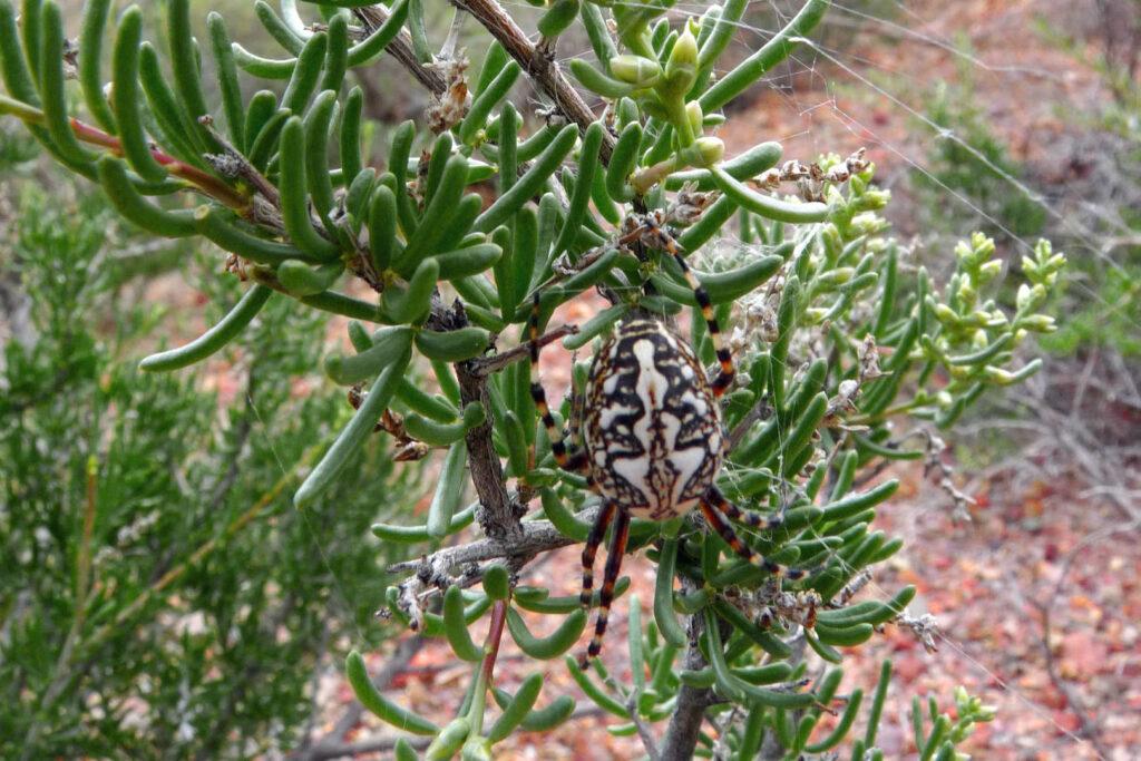 Jedovatý pavouk, Kazachstán