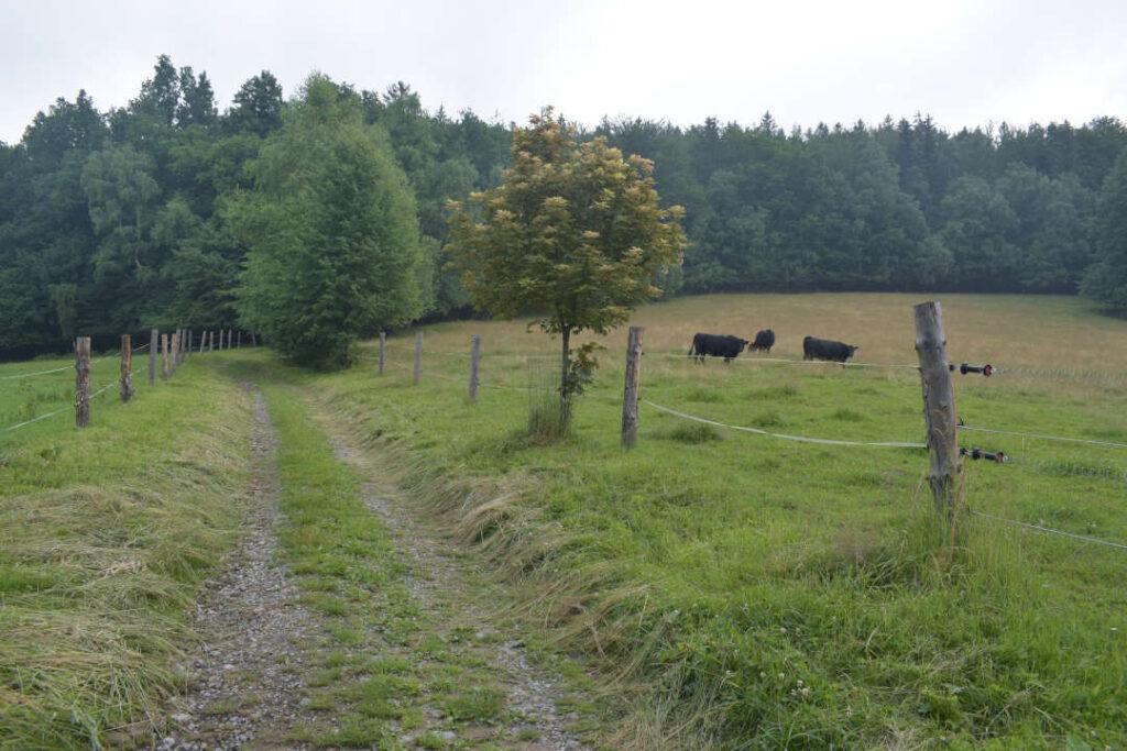 Krávy se pasou nad chatovou oblastí