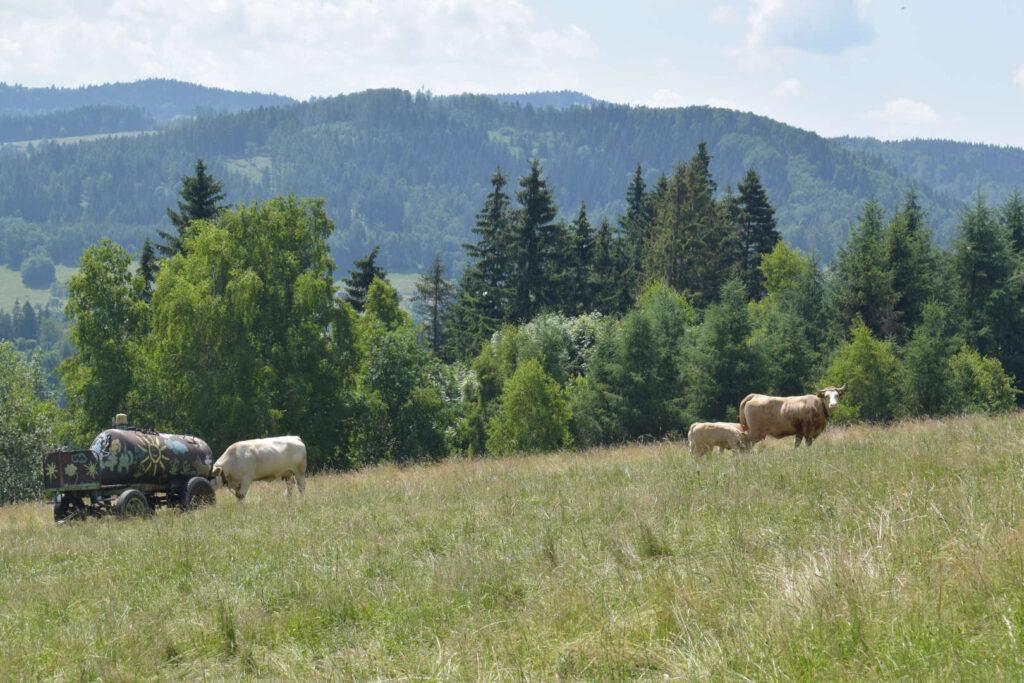 Nad Valašskou Bystřicí, krávy
